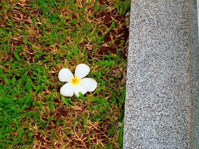 ところどころに落ちているプルメリアの花