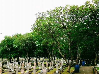 お墓の周りにはたくさんのプルメリアの木