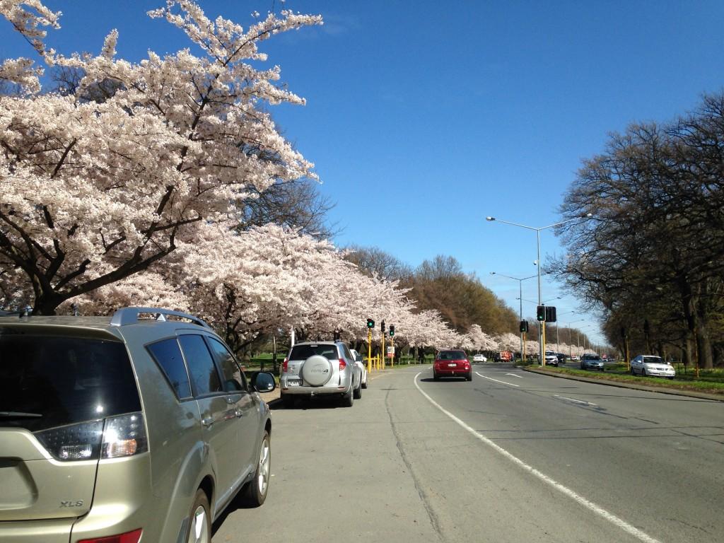 ニュージーランド随一の美しさ!『ハグレーパークで9月にお花見を楽しもう!!』 – tripuuu(トリップー)