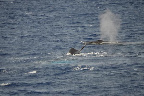 100%クジラが見えると保証されてるツアー